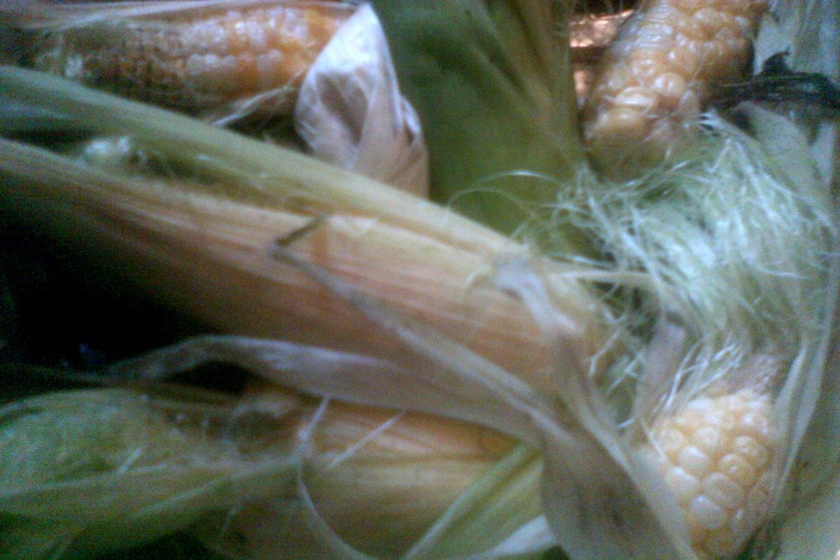 2011 corn harvest