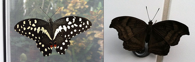 Butterflies this year include the chocolate pansy on the right, perched on the lock of the case.