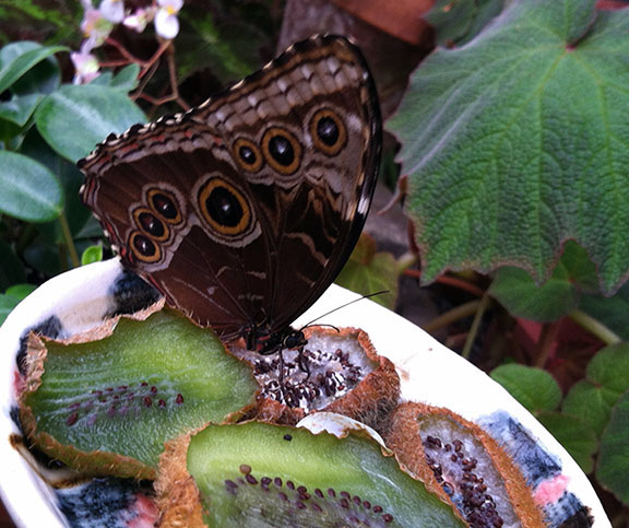 Noms. A blue morpho butterfly eating rotting kiwi.