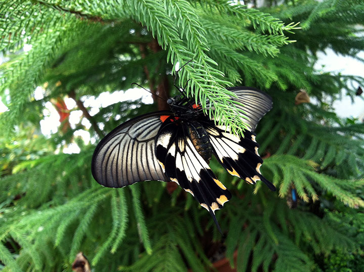 A swallowtail butterfly taking a little recovery time.