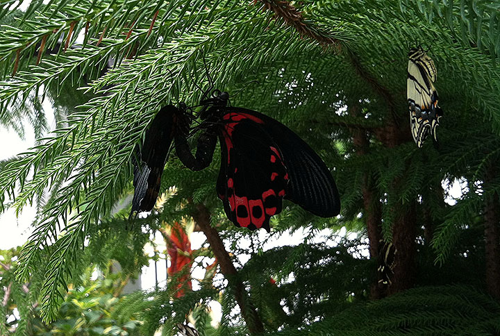 A scarlet Mormon resting and one that has other ideas.