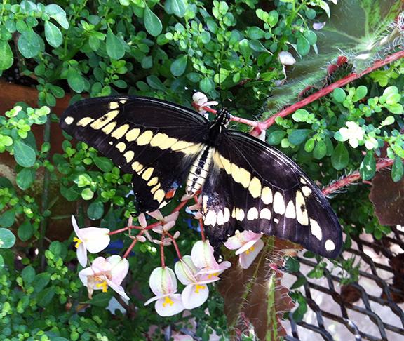 A giant swallowtail.