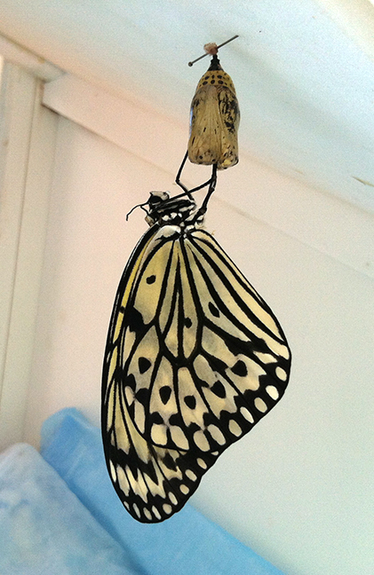 My favorite photo of the week, a paper kite hanging from its chrysalis.