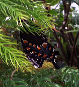"This shows the underside of the wing of the butterfly pictured at top, the spicebush swallowtail. This one is hanging in our ""nursery"" Norfolk pine for some extra attention and drying time."
