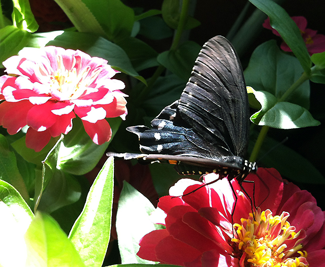 A spicebush swallowtail feeds on a zinnia.