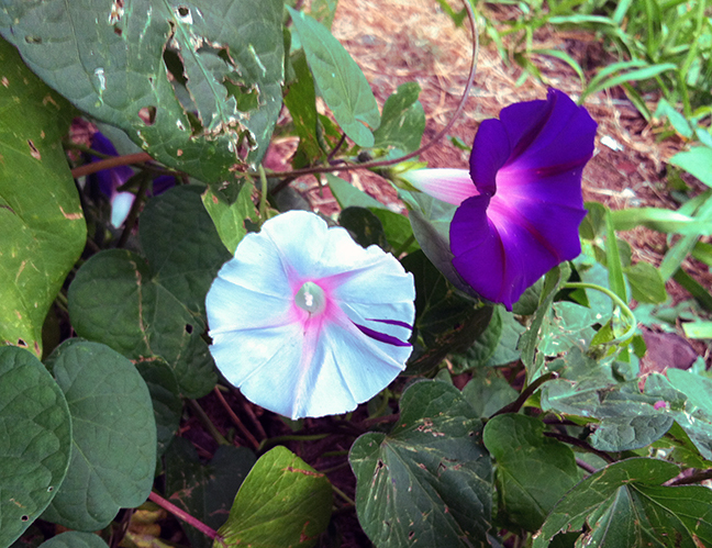 Morning glories, one taking an unusual turn.
