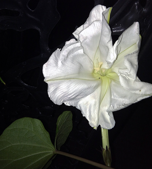 A moonvine blossom just opening for the night.