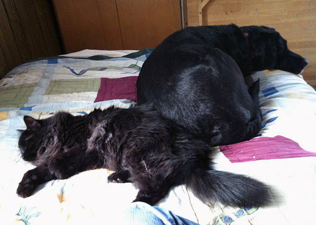 Photo of black cat and black Labrador retriever on quilt-covered bed