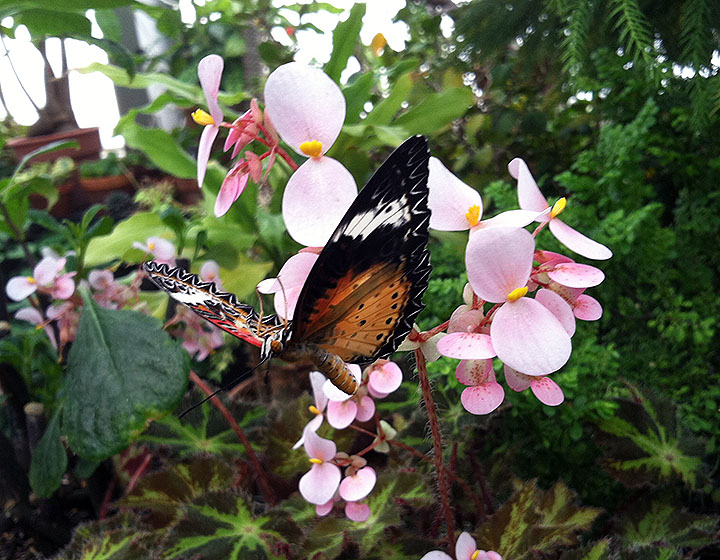 photo of a leopard lacewing butterfly on a light pink flower