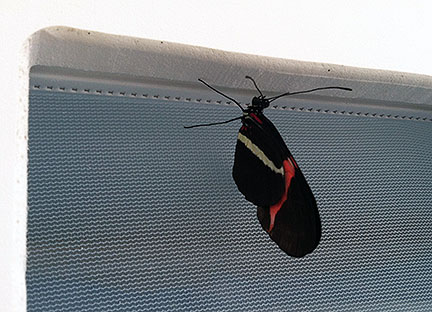 photo of longwing butterfly