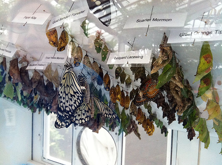 photo of three emerged paper kite butterflies clinging to chrysalises