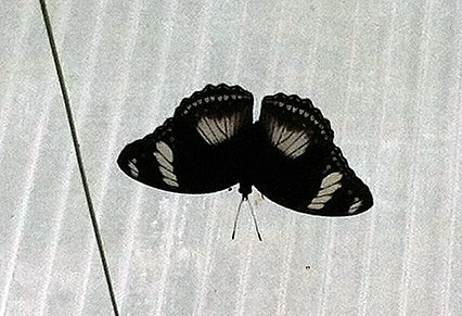 photo of a black and white butterfly