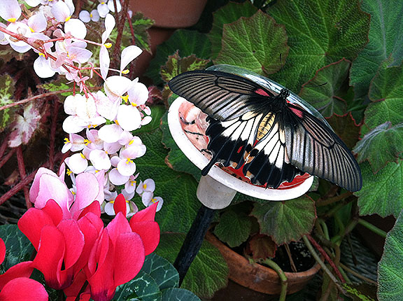 "A swallowtail without one of its telltale ""tails"""