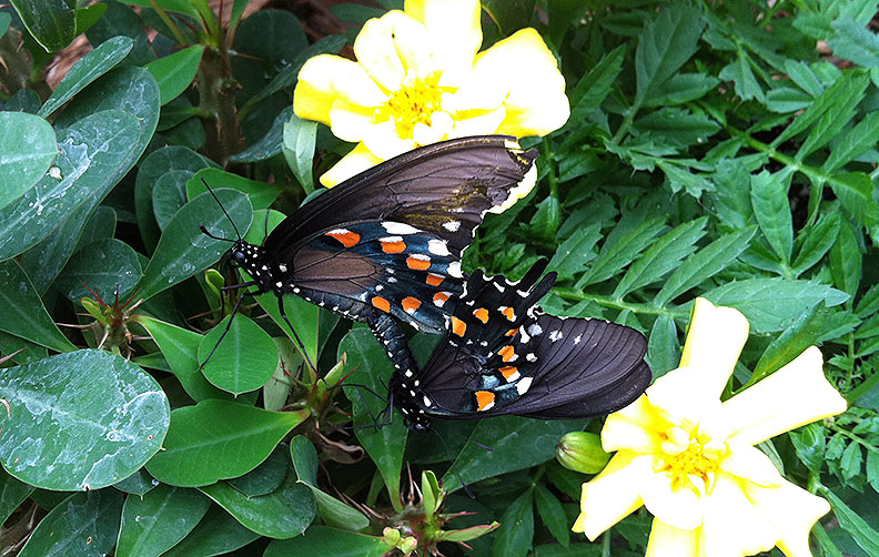 Mating pipevine swallowtails; note the top one's wing is so battered you can see the yellow of the marigold through it