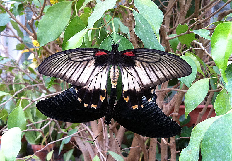Mating swallowtails