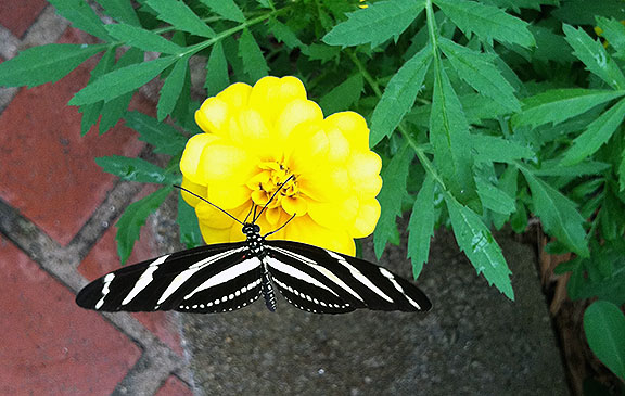 A zebra longwing on one of the marigolds brought into the conservatory for the butterflies