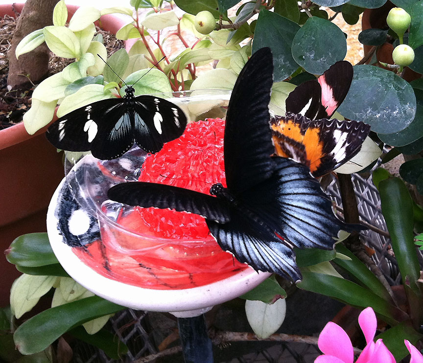 Four different varieties of butterflies share a feeding dish