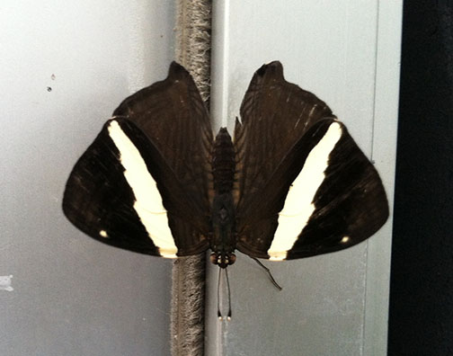 The top side of the same butterfly's wings, black except for a white nearly vertical stripe