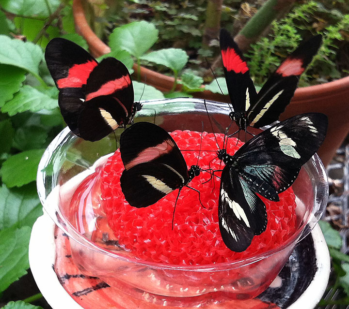 Four longwing butterflies in a feeding dish