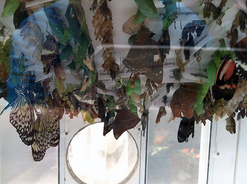 Emergence case full of varied chrysalises and recently emerged butterflies