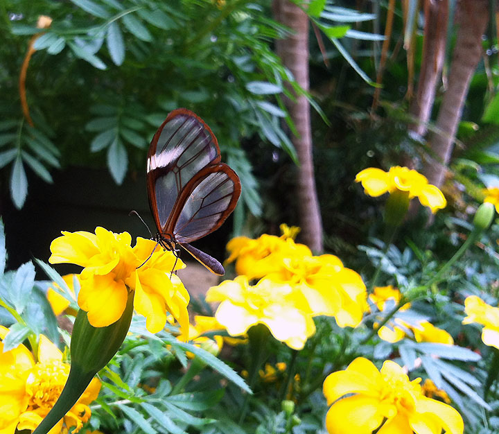 Clearwing butterfly on a yellow marigold