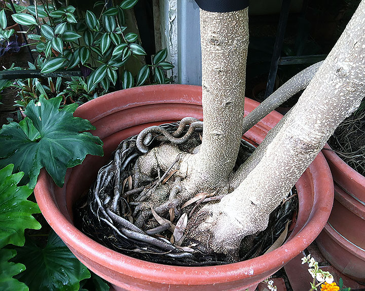 Base of three-trunked tree with curled roots wrapping around inside of huge pot