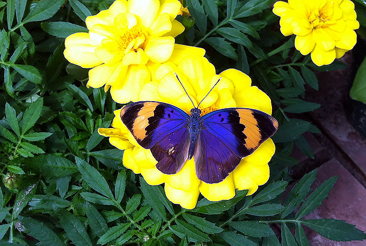 Gold banded forester butterfly on a yellow marigold