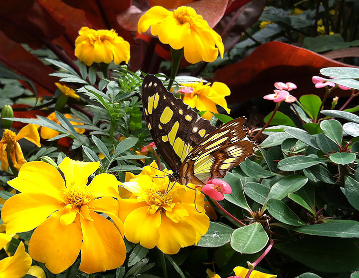 Black and yellowish green butterfly with brown, white and pink tones on underside of wing