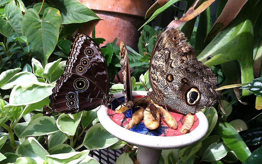 This blue morpho and two giant owls were deeply camped on this food dish. This was the first time I saw butterflies act territorial; many smaller ones got pushed firmly away by an owl's leg.