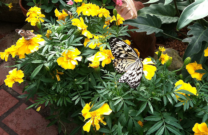 Paper kite and buckeye butterflies on yellow marigolds