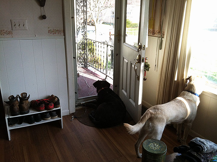 Two dogs watching out separate windows