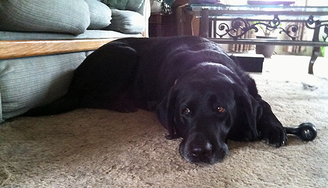 Black Lab guarding black chew bone