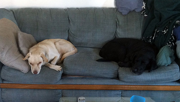 Dogs sleeping at opposite ends of a couch