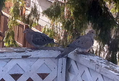 I hope to get a better shot of these mourning doves, sometimes, but they're a skittish pair. I don't usually see them until early evening, when the other birds and squirrels have pretty well cleared out. [April 17]