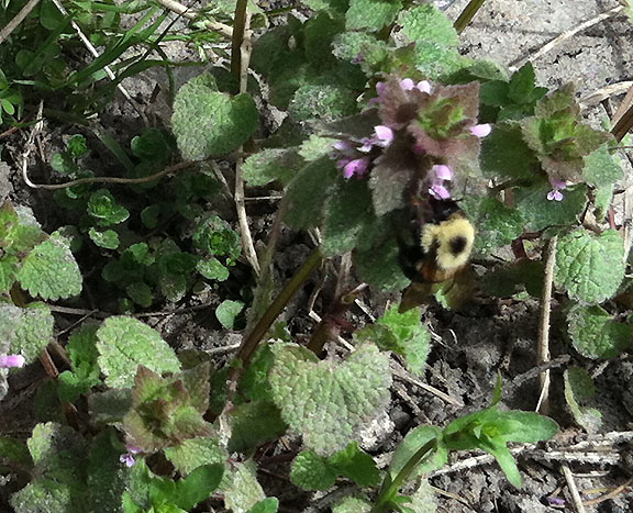 One of my favorite signs of warm weather: our bee friends! Clover is about all they have for now, but they will be very busy on our raspberry patch this summer. [April 19]