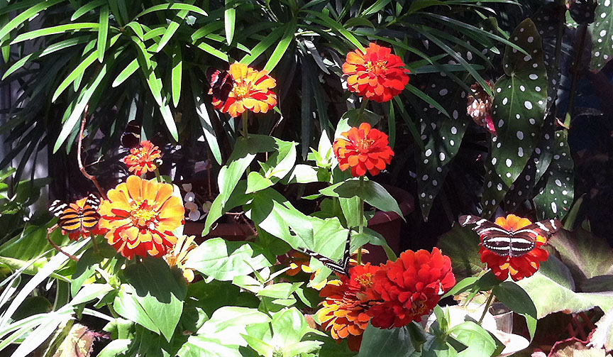Five butterflies sunning on orange zinnias