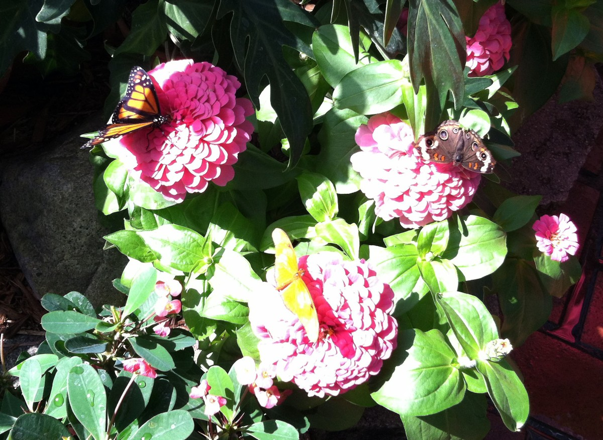 Trio of butterflies on pink zinnias
