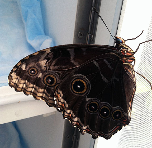 A blue morpho ready for release, clinging momentarily to the inside of the emergence case door.