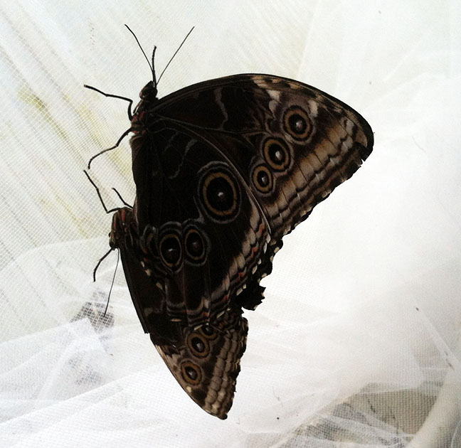 She also said she thought she had found a mating pair, and she had – these blue morphos. They're by the outward-sloping metal walls of the conservatory and the netting inside them.