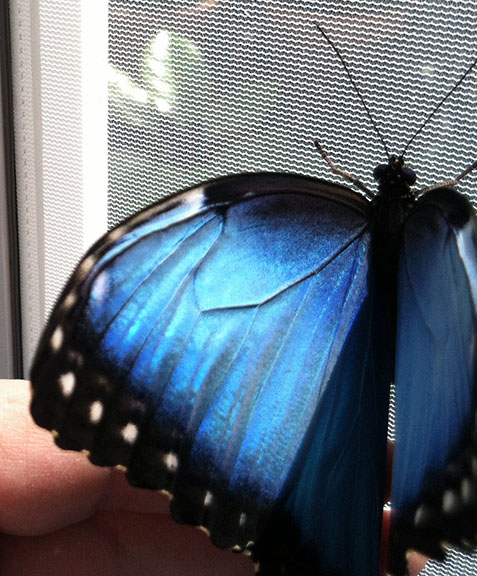 The brilliant blue topside of a blue morpho's wings