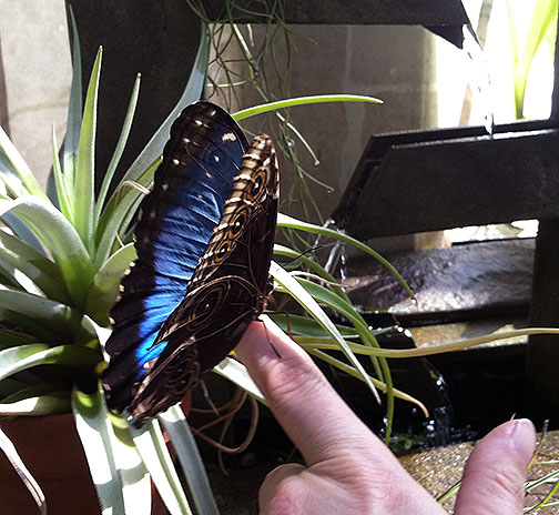 I told her I was hoping to get a blue morpho open (me and so many other people) so she kept an eye out for me. This one in the orchid room was a tease.