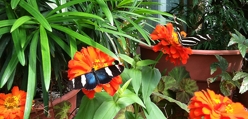 A blue longwing, notable for its iridescence, and a zebra longwing feed on orange zinnias.