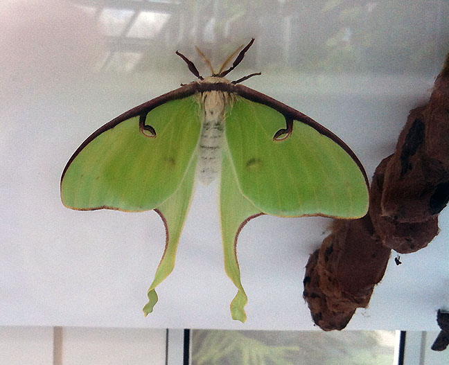 A recently emerged luna moth next to a row of cocoons.
