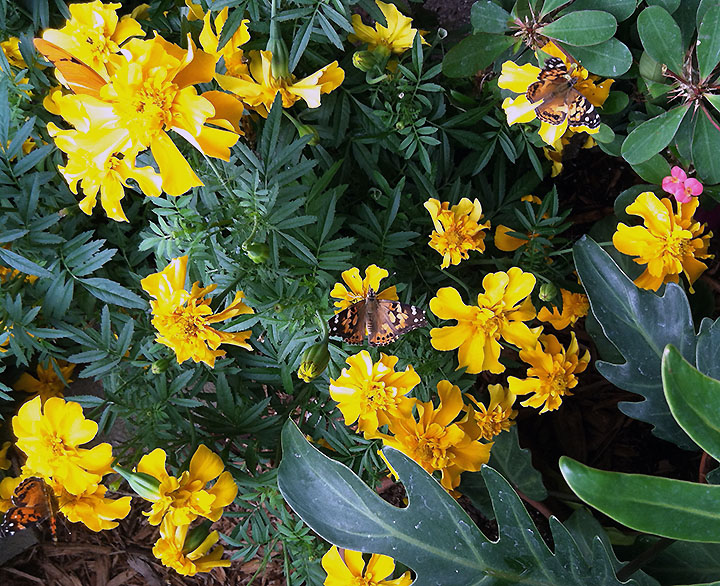 These yellow marigolds attracted painted lady butterflies.