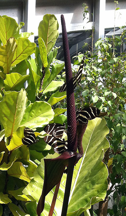 This plant was a popular perch for zebra longwings.