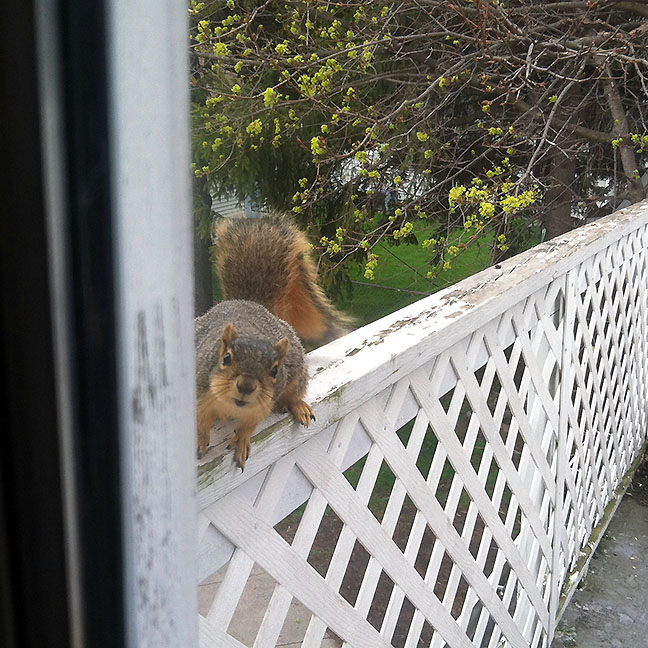 Squirrel staring in window