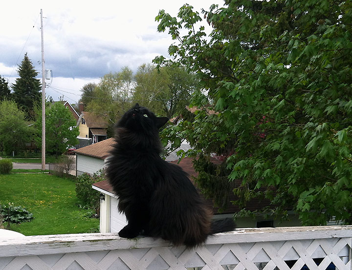 Black longhaired cat sitting on balcony rail and looking skyward