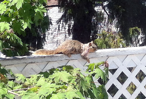 Squirrel sunning itself on balcony rail