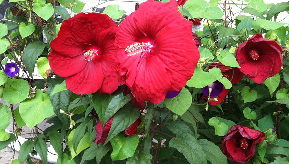 hibiscusglory