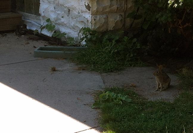 Young rabbit near sidewalk